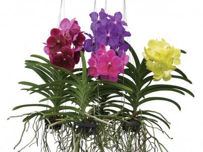 Orchidej vanda prodej